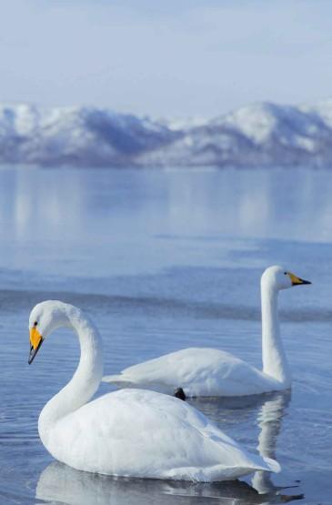 北海道的优雅天鹅